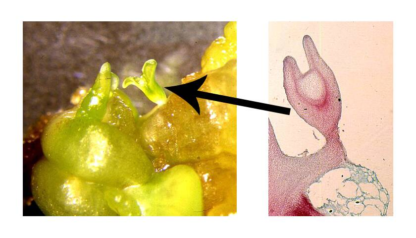 Photo showing a picture of a somatic embryo arising from epidermal cells. An enlarged micrograph view of the somatic embryo is beside it.