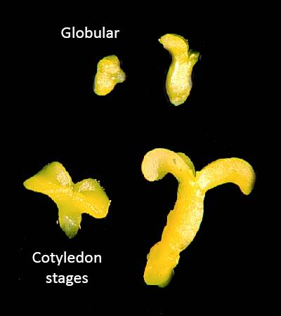 Photo identifying globular and cotyledon stages of development.