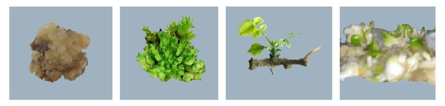 Photos of four examples of tissue culture.
